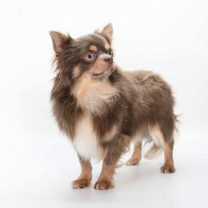 Chihuahua : chiens adultes à céder