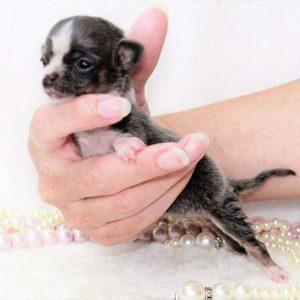Chihuahua : chiots miniatures à vendre