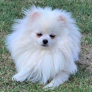 Spitz Poméranien : chiens adultes à céder
