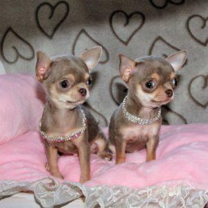 Chihuahua : chiots à vendre