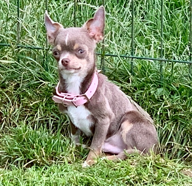 ONELL, Chihuahua mâle poil court lavande