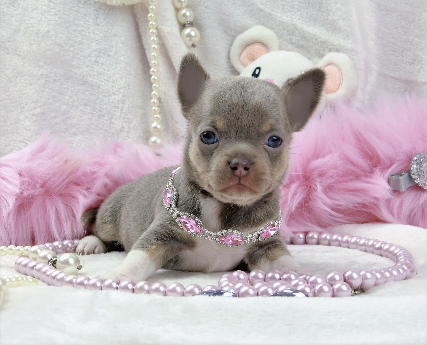 OZONE, femelle Chihuahua poil court lavande ==Réservée==