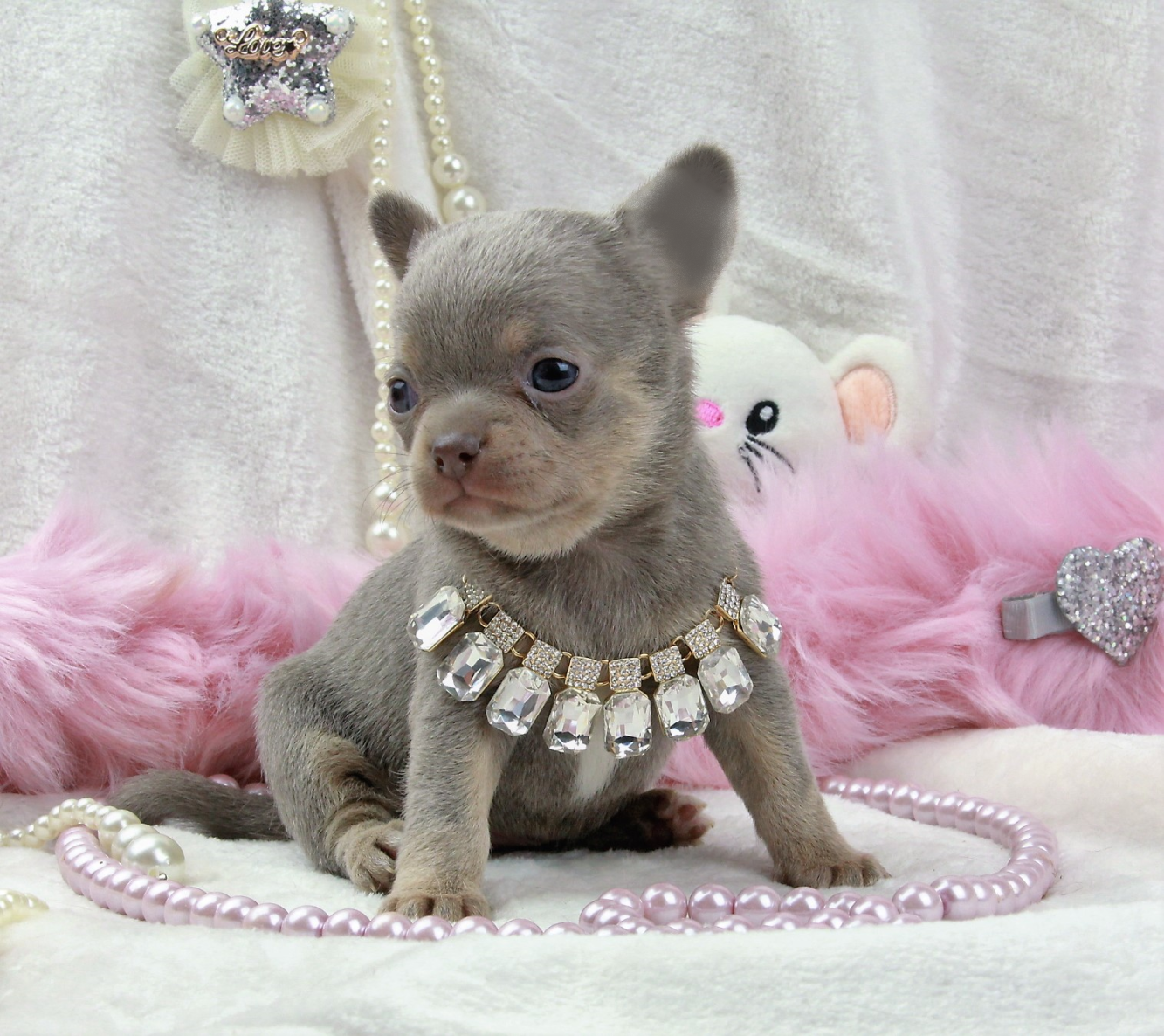 OBSESSION, femelle Chihuahua poil court lavande