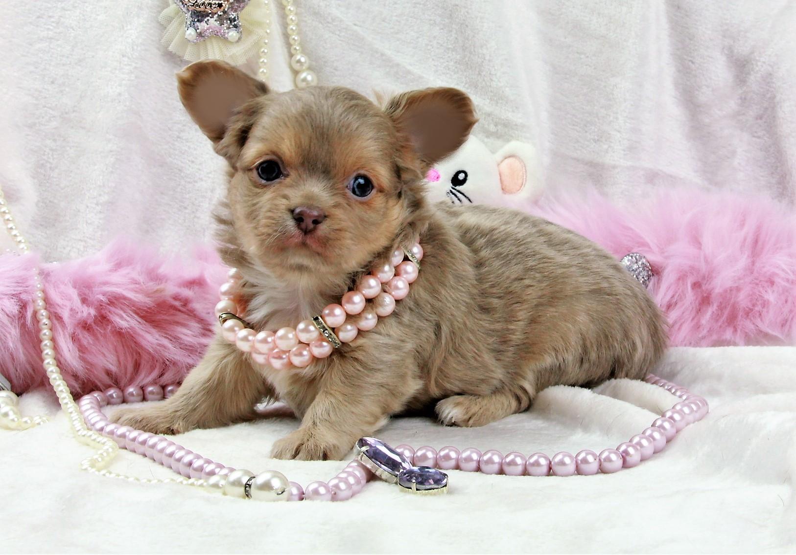 OSEE, femelle Chihuahua poil long lavande et tan